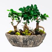 Mountains - 3'lu Ficus Bonsai