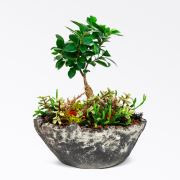 Unique - Ficus Bonsai & Sukulent Aranjman