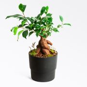 London Black - Ficus Bonsai
