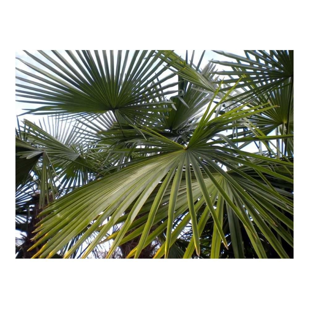 Zenfidan Palmiye Agaci 20 40 Cm Tekzen