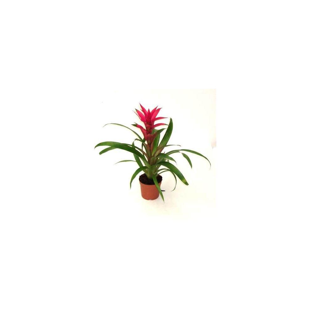 Anthurium: Yapraklar sarıya dönüşür, ancak Sonbaharı değiştirmez. Çiçeğe Nasıl Yardım Yapılır