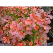 Zenfidan BERBERIS thunbergii Admiration 10-20 cm