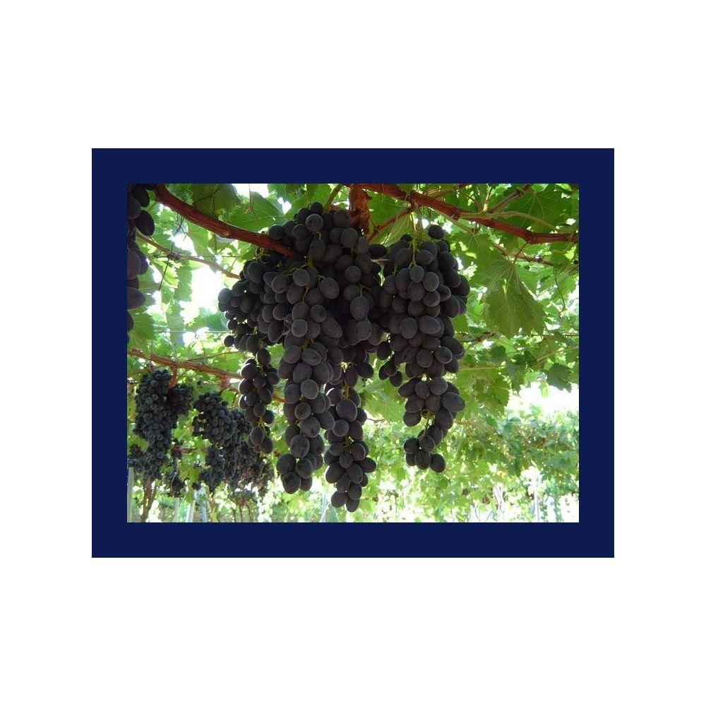 Eski bir çalı üzümleri nasıl aşılanır