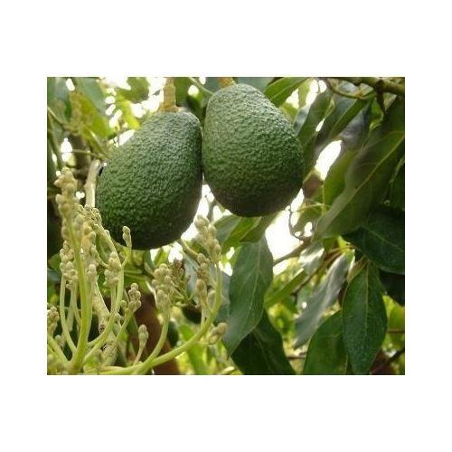 cb0f7544ca208 Zenfidan Mango Fidanı, Saksıda | Tekzen