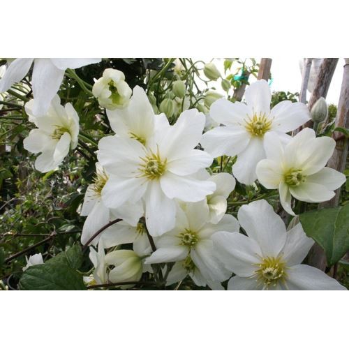 Zenfidan Clematis Cartmanii Joe, İTHAL, Saksıda