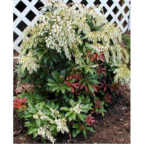 Zenfidan Pieris japonica MOUNTAİN FİRE 30-50 cm, İTHAL, Saksıda