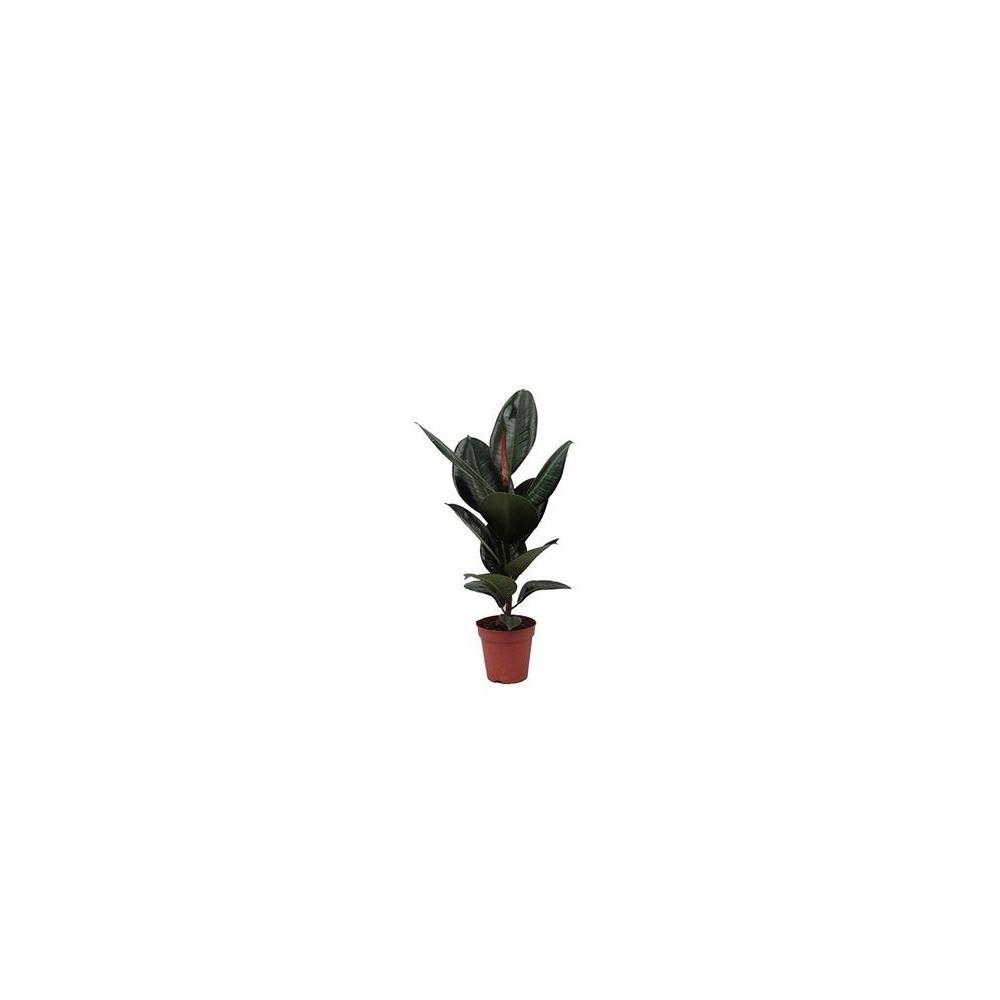 Zenfidan Ficus Elastica Robusta Koyu Renk Yaprakli Kaucuk 80 100