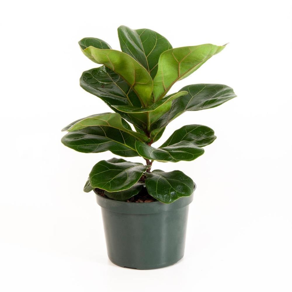 Zenfidan Ficus Lyrata Keman Yaprakli Kaucuk 60 80 Cm Kargo